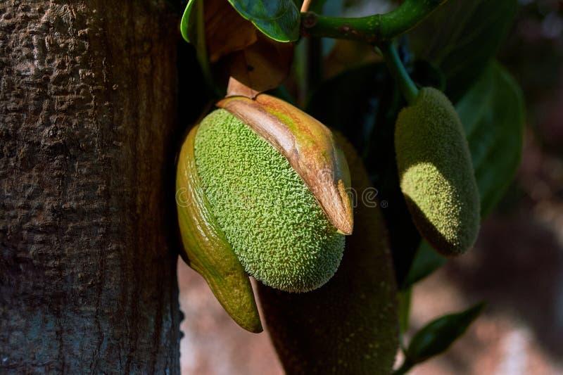 - Commencer du jacquier et du jacquier mûr le plus grand fruit dans le maharashtra konkan du monde images libres de droits