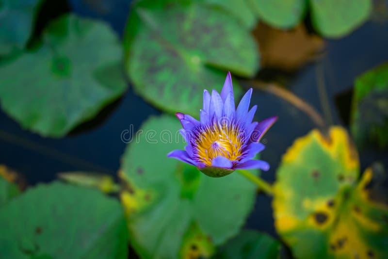 Commencez à fleurir Lotus bleu image stock