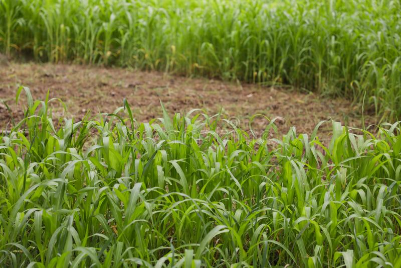 Commencez la culture d'alimentation verte en alimentation de bétail images stock