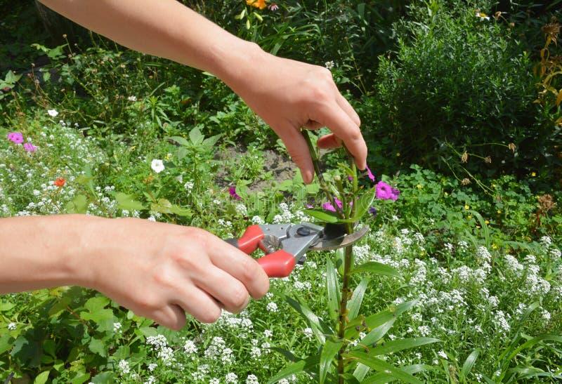 Comment aux lis de personne en possession d'un billet de faveur garder venir de fleurs Lis de personne en possession d'un billet  photos libres de droits
