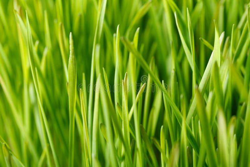 Champ de blé vert photo stock