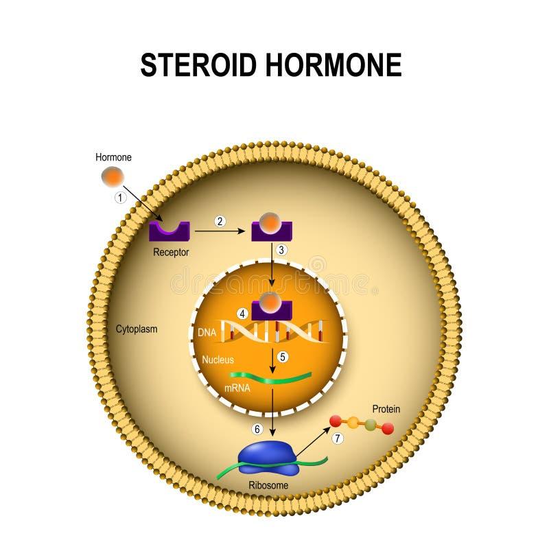 Comment les hormones stéroïdes fonctionnent illustration de vecteur