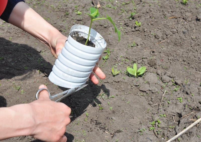 Comment planter et cultiver des concombres photographie stock libre de droits