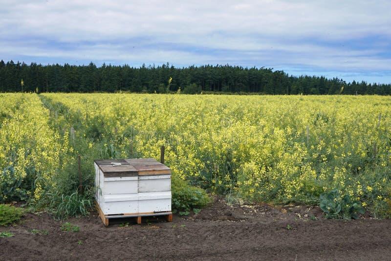 Commerciële bijenkorf bij de rand van een bloeiend gebied stock afbeeldingen