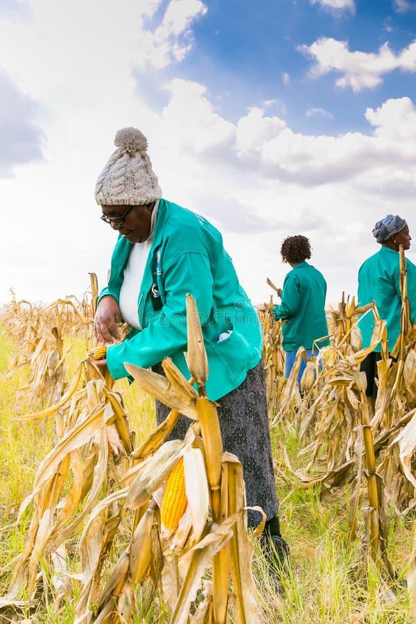 Commerciële Maïs die in Afrika bewerken royalty-vrije stock foto
