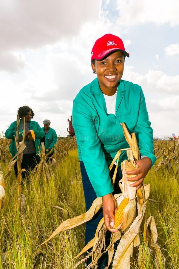 Commerciële Maïs die in Afrika bewerken royalty-vrije stock fotografie