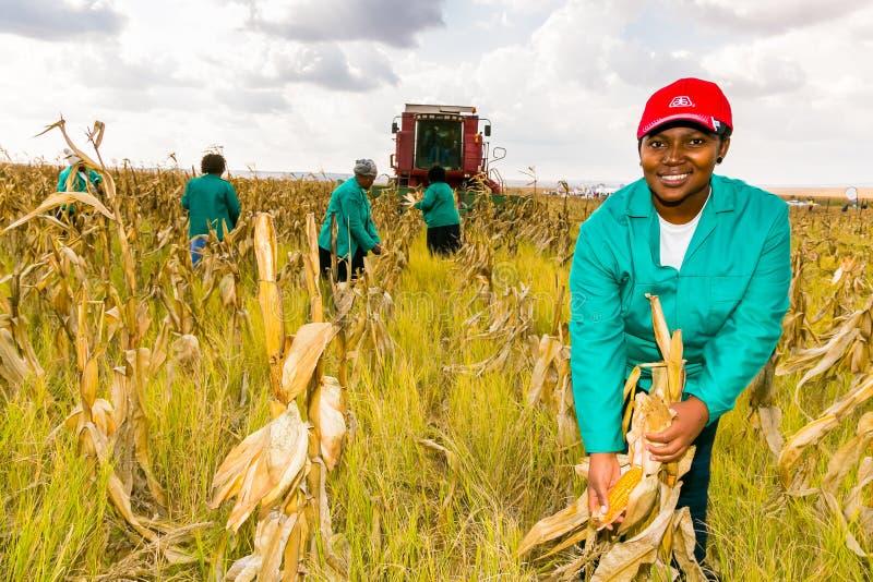 Commerciële Maïs die in Afrika bewerken royalty-vrije stock afbeelding