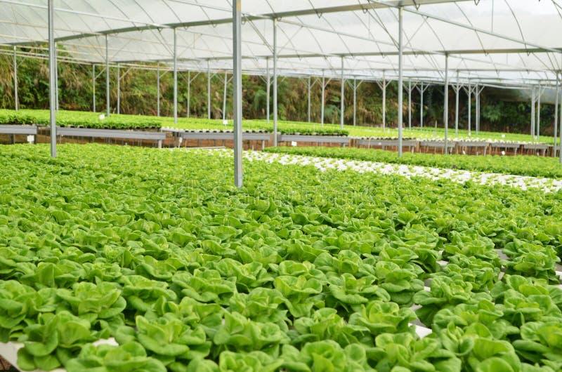 Commerciële serre soilless cultuur van groenten stock foto's