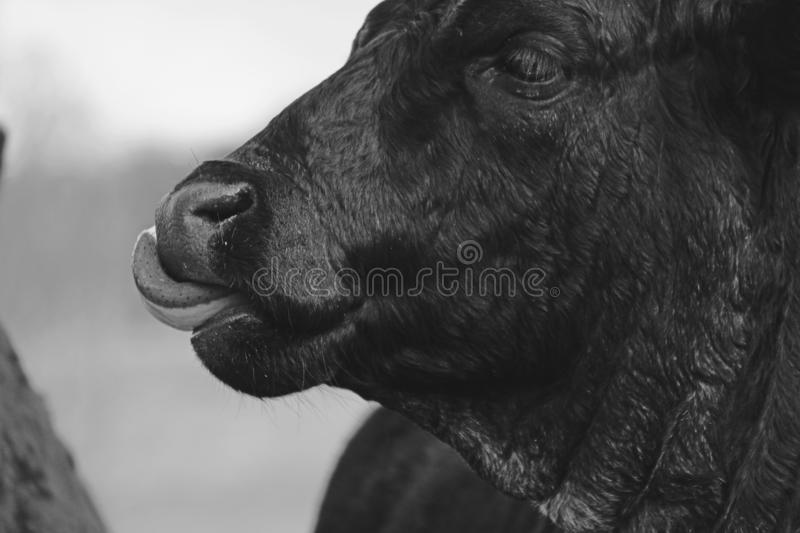 Commercial Angus Crossbred cow portrait royalty free stock photos