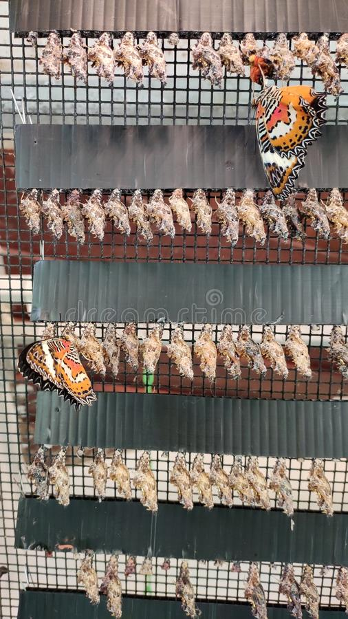 Butterfly Breeding life cycle singapore. Commercial butterfly breeding or captive butterfly breeding is the practice of breeding butterflies and moths in stock photos