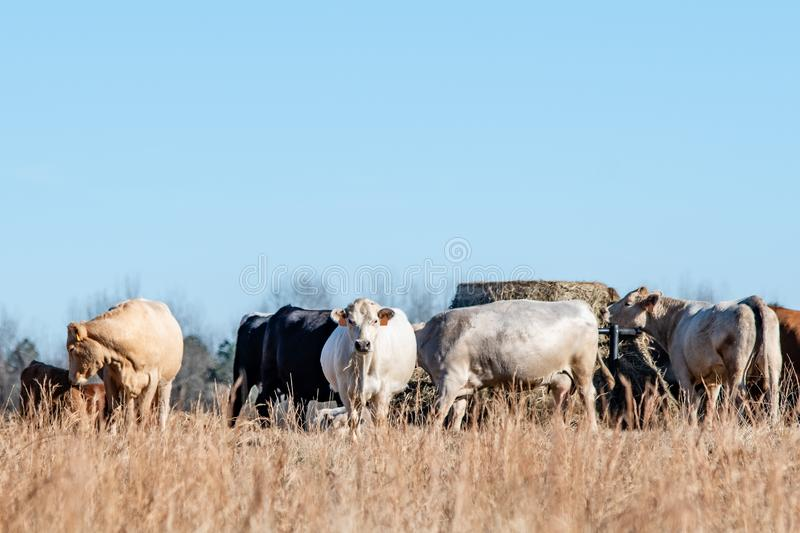 Commercial cattle herd by round bale feeder. Commercial crossbred beef cattle gathered around a round bale feeder in a dormant winter pasture with negative space royalty free stock photography