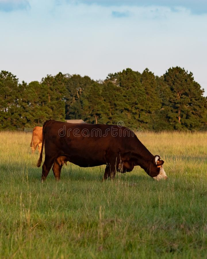Commercial crossbred cow grazing - vertical. Commercial crossbred beef cow grazing in a late summer pasture in portrait stock photography