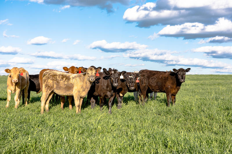 Commercial crossbred heifers in pasture. Commercial crossbred heifers standing in a group in a lush green pasture with clouds and blue sky stock image