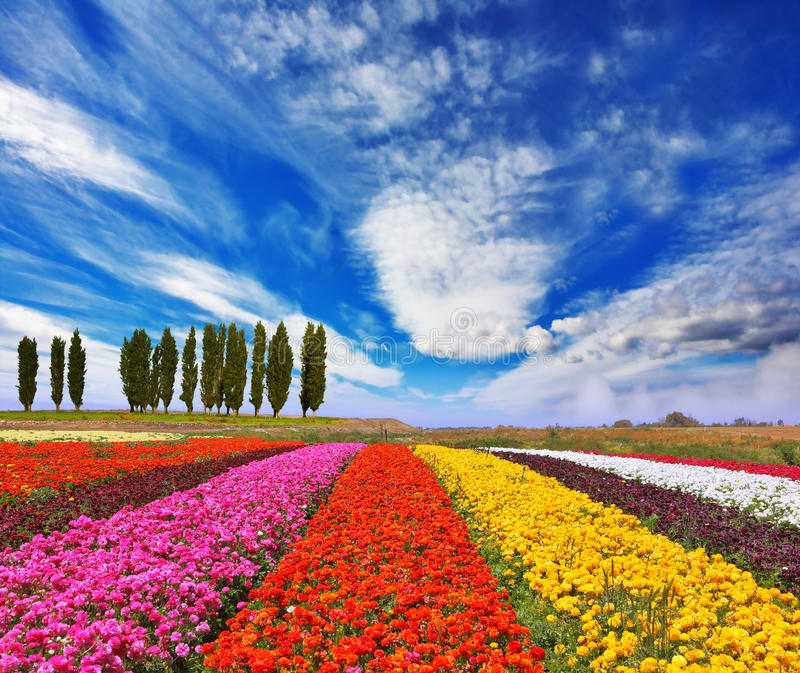 Commercial cultivation of flowers for sale abroad. Very beautiful bright colorful flower fields. Commercial cultivation of flowers for sale abroad royalty free stock photos