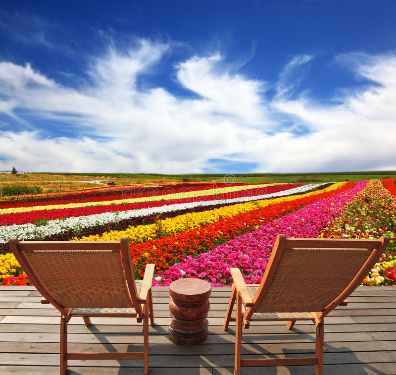 Commercial cultivation of flowers for sale abroad. Very beautiful bright multi-colored flower fields. On the edge of a field convenient wooden chaise lounges for royalty free stock photo