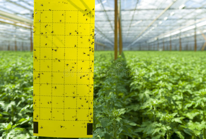 Commercial greenhouse. Adhesive strip in a greenhouse for counting insects and other pests stock photos