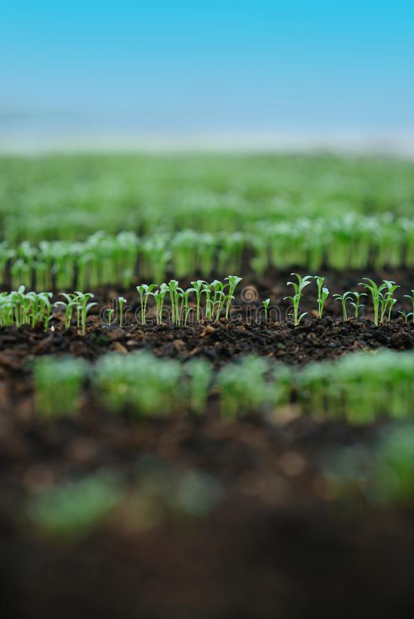 Commercial greenhouse seeding. commercial seeding in greenhouse. commercial greenhouse seeding with green rows of plants stock photo