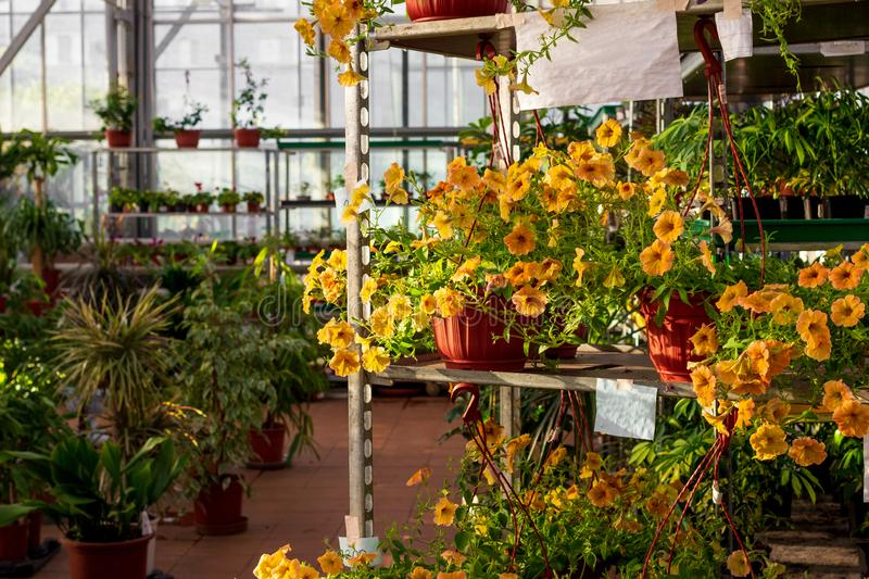 Commercial greenhouse shop selling petunia flowers and other plants in flowerpots stock images