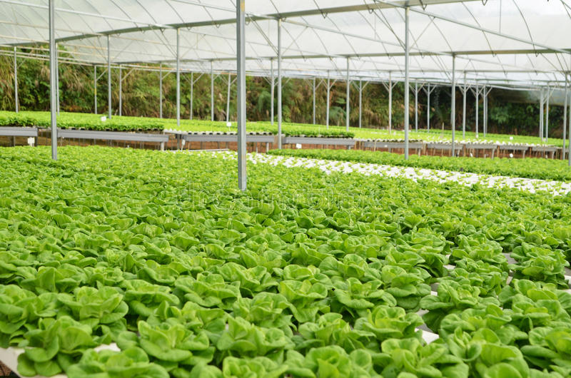 Commercial greenhouse soilless cultivation of vegetables stock photos