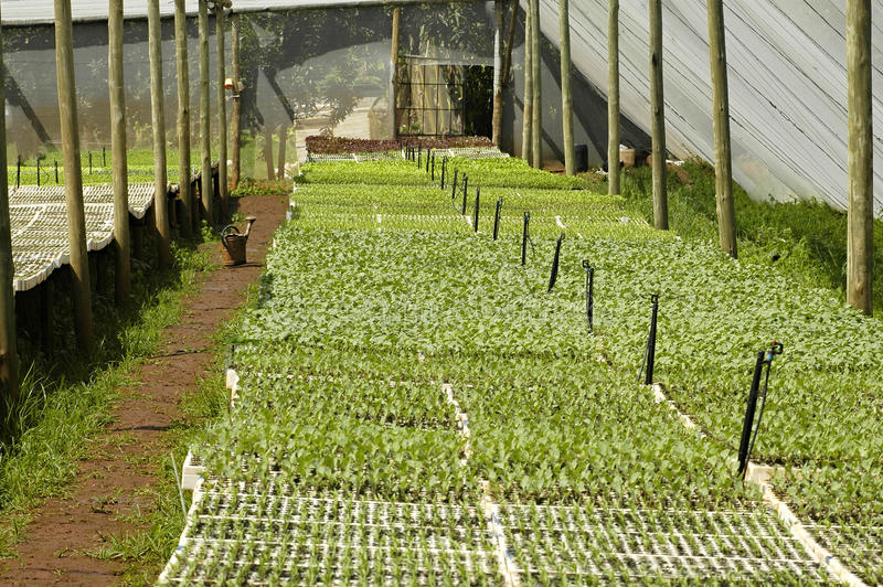 Commercial nursery. Commercial organic nursery growing vegetable seedlings royalty free stock photography
