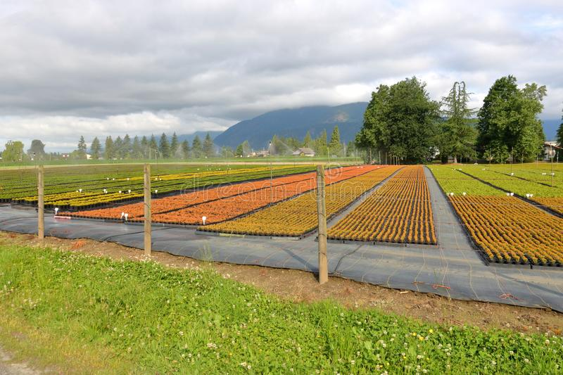 Commercial Plant and Tree Nursery. A commercial plant and tree nursery provides a variety of colors during the summer growing season stock photos