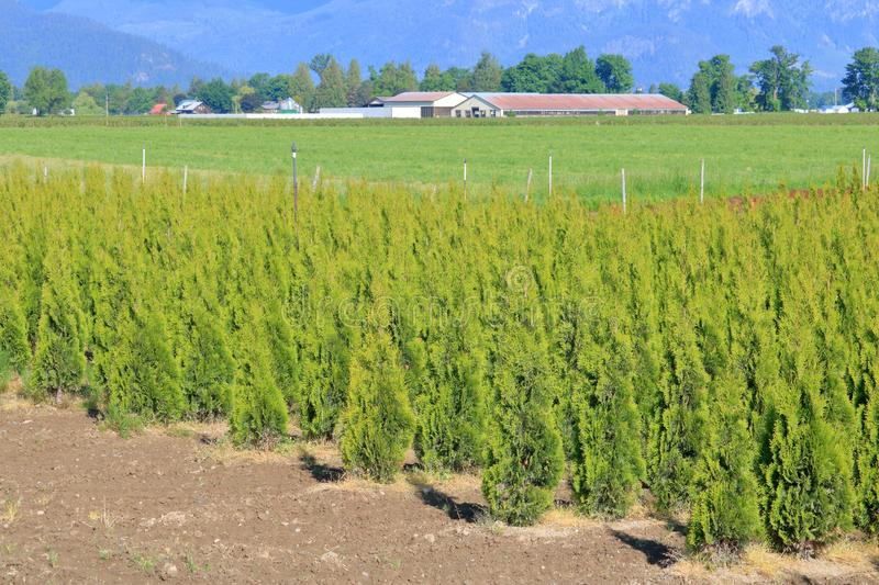 Commercially Grown Cedar Hedging Ready for Retail. Wide angle landscape view of maturing commercially grown cedar plants used for residential landscaping and royalty free stock photos