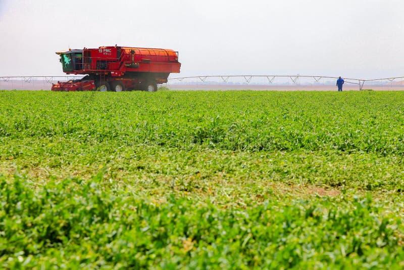 Commercieel Pea Farming met een Combine Maaidorser stock foto