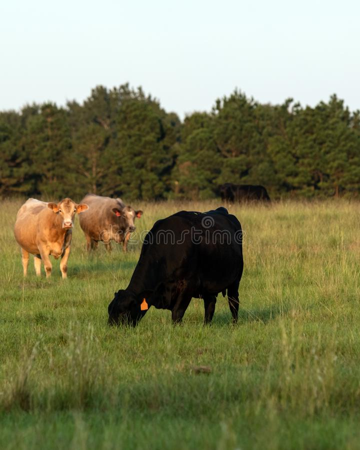 Commerical cows grazing - vertical. Crossbred beef cows grazing in a late summer bermudagrass pasture - vertical stock photography