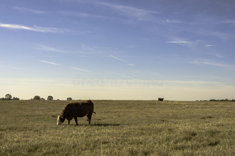 Commerical cows in wide open field royalty free stock photo