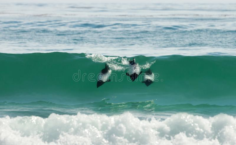 Commerson`s dolphins diving in blue water. Falkland Islands stock images