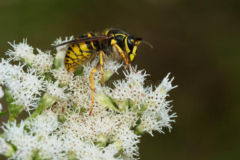 Common Aerial Yellowjacket - Dolichovespula arenaria. A Common Aerial Yellowjacket is collecting nectar from tiny white flowers. Also known as a Common Yellow or royalty free stock photography