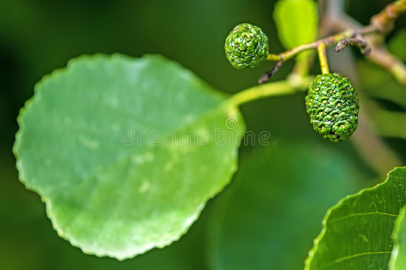 Alder with fruits and leaf. Common alder with fruits and leaf stock photos