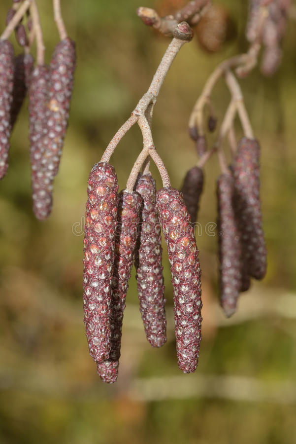 Common Alder, male Catkins. Common Alder - Alnus glutinosa Male Catkins in early Winter royalty free stock images