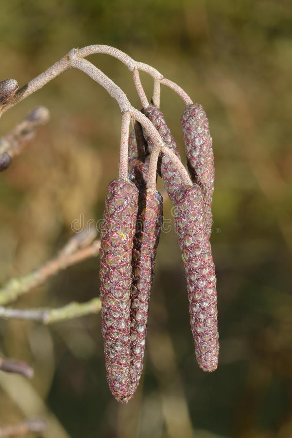 Common Alder, male Catkins. Common Alder - Alnus glutinosa Male Catkins in early Winter royalty free stock photography