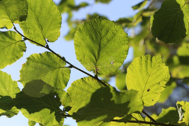 Common Alnus Leaf stock photo