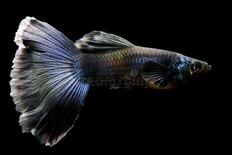 Common aquarium fish Gyppy Poecilia reticulata stock image