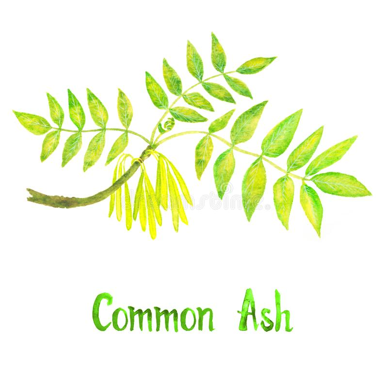 Common ash branch with green leaves and seeds, hand painted watercolor illustration with inscription isolated royalty free illustration