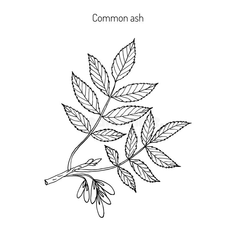 Common Ash Tree Branch stock illustration