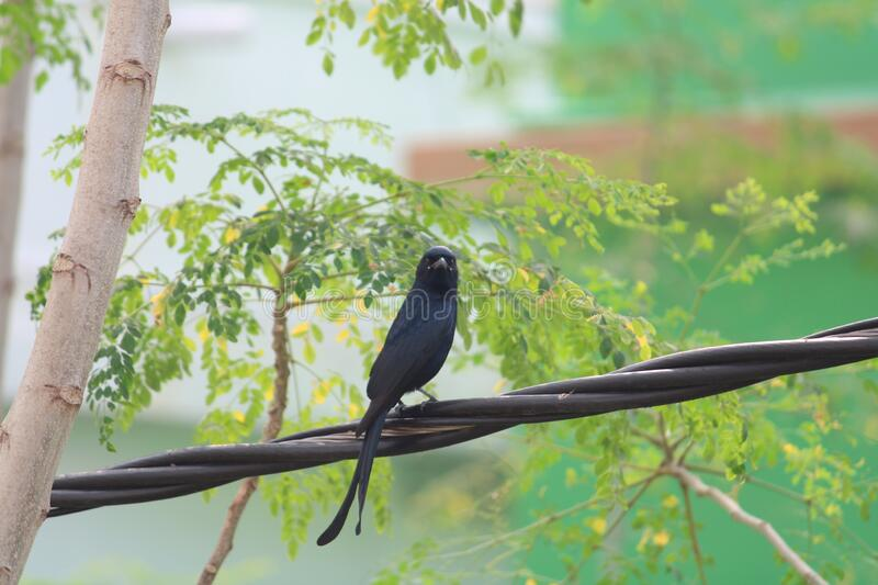 The  common balackdrong found on trees. It is a common resident breeder in much a tropical southern Asia from Southwest Iran through India  ,sri Lanka east to royalty free stock image