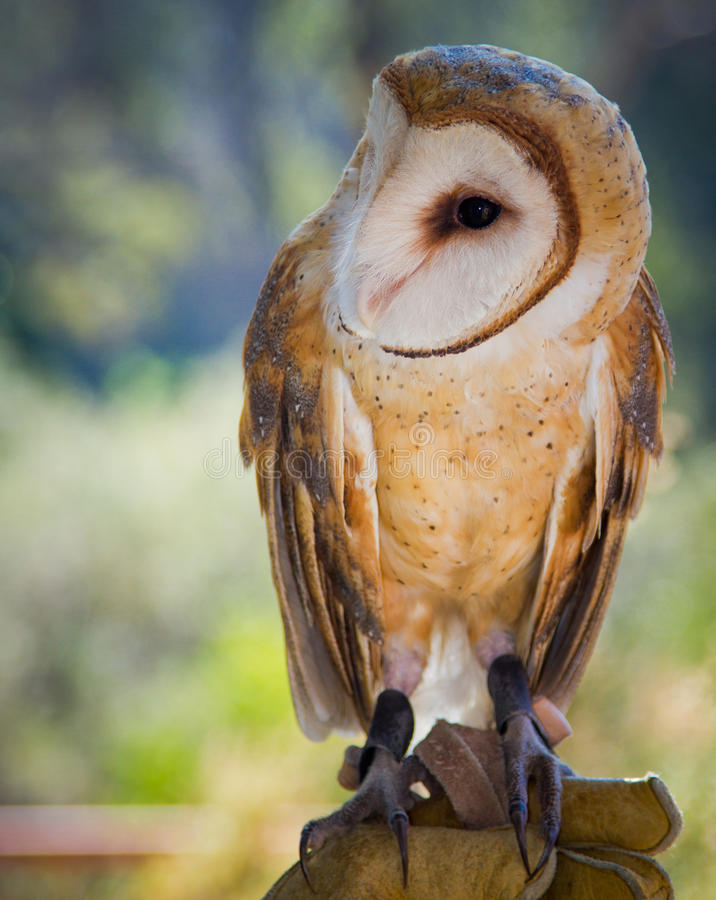 Download Common Barn Owl stock image. Image of nature, like, tytonidae - 23603549
