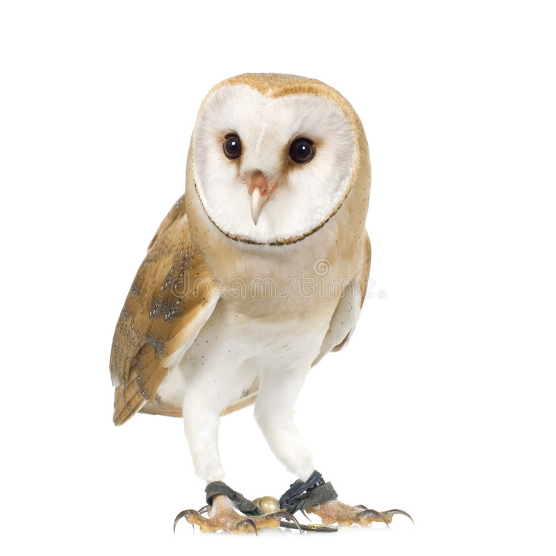 Common Barn Owl (4 mounths) stock photos