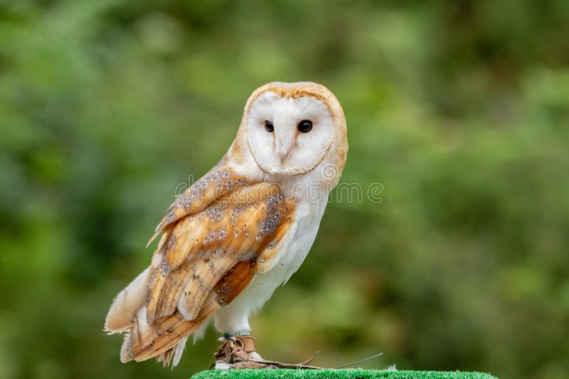 The Common Barn Owl, Tyto alba. The barn owl Tyto alba is the most widely distributed species of owl and one of the most widespread of all birds. It is also stock photography