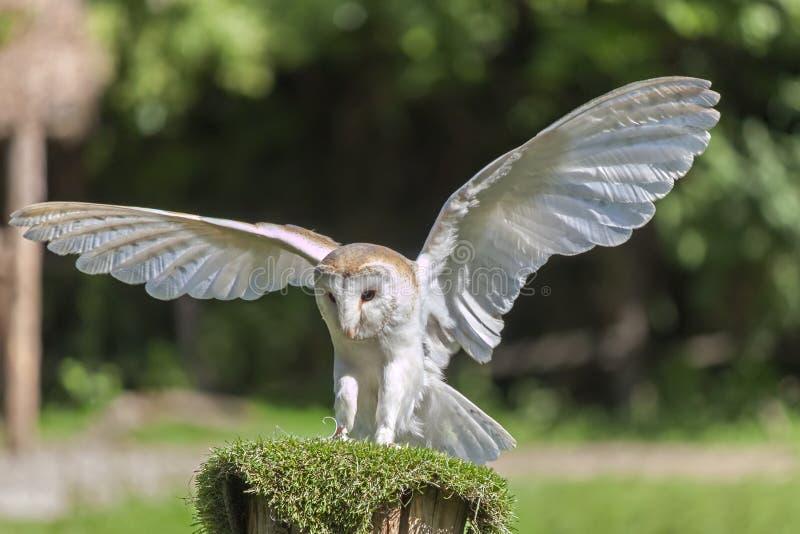 Common barn owl Tyto alba royalty free stock image