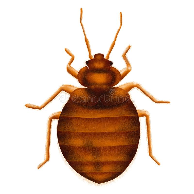 Common Bedbug Cimex lectularius. Bed bug, drawn illustration, isolated on white stock image