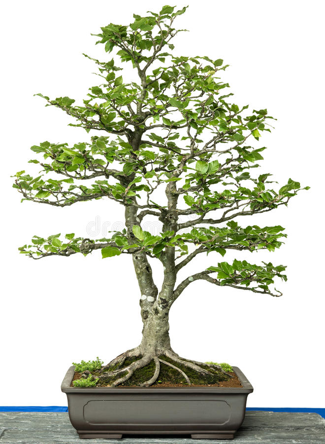 common beech as bonsai tree stock image image of chinese european 43642209. Black Bedroom Furniture Sets. Home Design Ideas