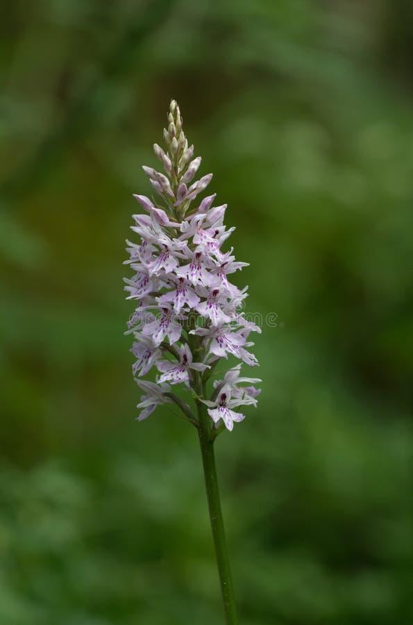 Common beschmutztes Orchidee Dactylorhiza fuchsii stockfoto