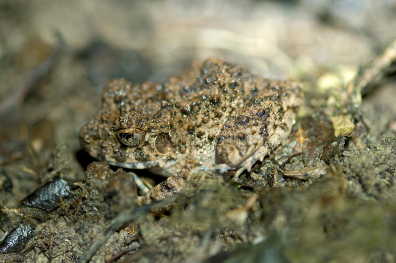 Download Common Big-headed Frog stock image. Image of frog, completely - 25105213