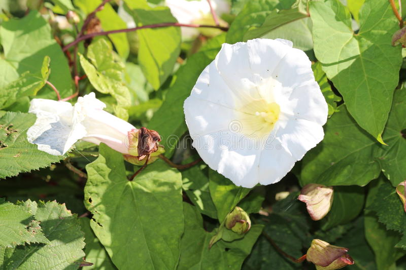 Common Bindweed. Trumpet shaped flowers of Common Bindweed an invasive weed otherwise known as Calystegia sepium. A choking and smothering plant that is hard to royalty free stock image