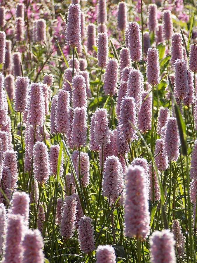 Common bistort flowers royalty free stock photos