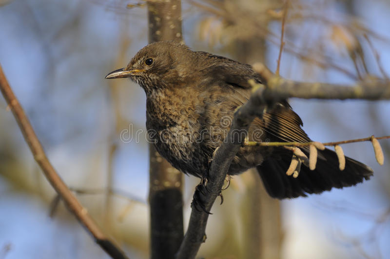 Common Blackbird stock images